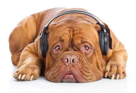 bordeaux dog: a dog in headphones is listening to the music. isolated on a white background Stock Photo