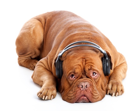 a dog in headphones is listening to the music. isolated on a white background photo