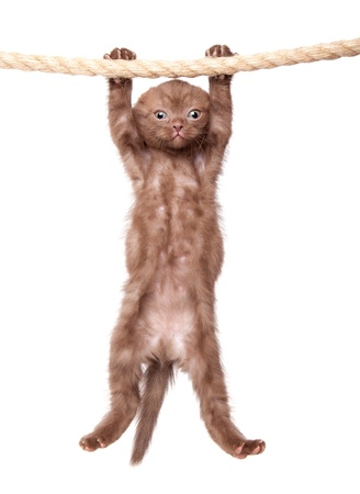 a little funny scottish fold kitten is hanging on the rope. isolated on a white background Stock Photo
