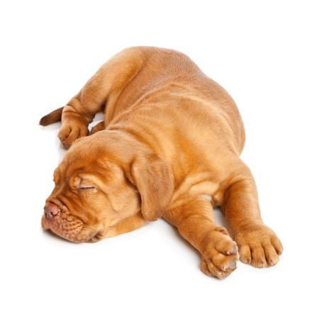 french mastiff: Puppy of Dogue de Bordeaux (French mastiff). Isolated on white background
