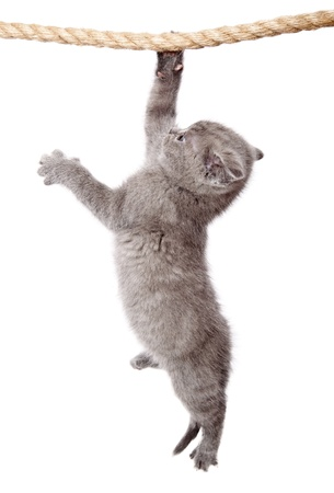a little funny scottish fold kitten is hanging on the rope. isolated on a white background photo