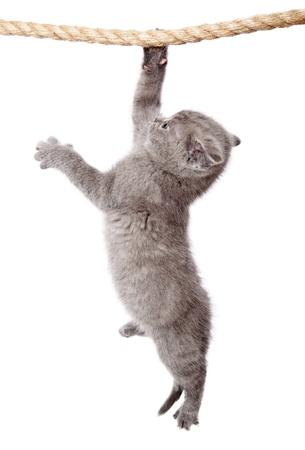 Un petit chaton de drôle scottish fold est accrochée à la corde. isolé sur un fond blanc Banque d'images - 10122069