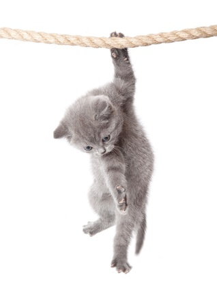 a little funny scottish fold kitten is hanging on the rope. isolated on a white background Standard-Bild