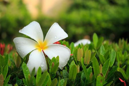 plumeria flower: Plumeria flower fall in the garden