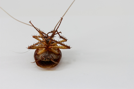 revolting: dead cockroach on white background