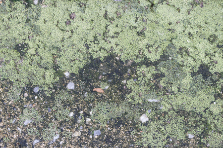 The dirty texture of concrete floor with moist green lichen