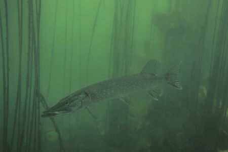 Adventurous picture of wild pike in nature habitat. Huge water volume with offshore vegetation in green tones color with big fish in the middle.