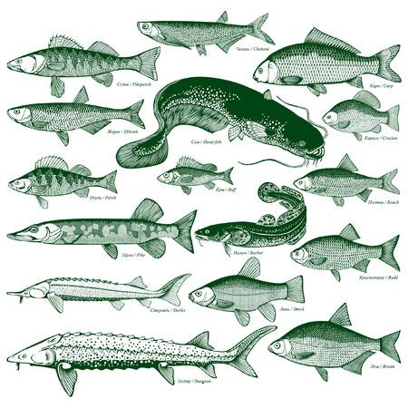 Tipos de peces de agua dulce. Siluetas de peces. Ilustración de vector