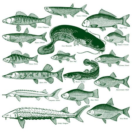 sturgeon: Types freshwater fish. Silhouettes of fish. Illustration