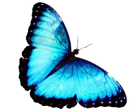 Blue Morpho Butterfly Stockfoto