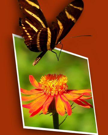 Longwing Zebra Butterfly Landing on Framed Mexican Flame Vine Flower photo