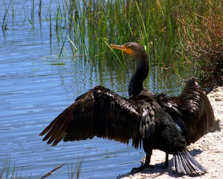 sunning: Cormorant Sunning on Bank