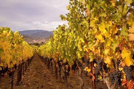 Napa Valley Vineyards in Autumn photo