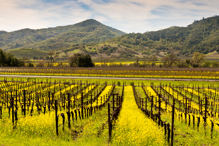 chardonnay: Napa valley Vineyards and Spring Mustard