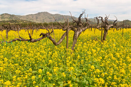 mustard field: Napa Valley Vineyards and Spring Mustard