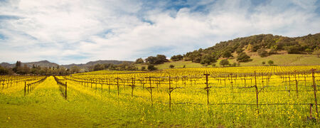 mustard field: Napa Valley Vineyards and Spring Mustard Panoramic