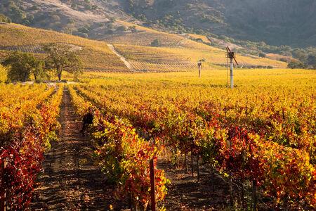 napa valley: Napa Valley Vineyard in Autumn