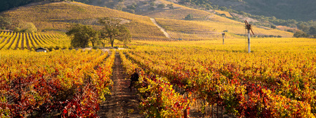 napa valley: Napa Valley Vineyard in Autumn Panoramic
