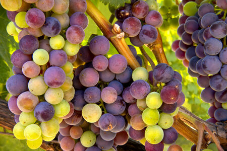 Wine Grapes Ripening on the Vine