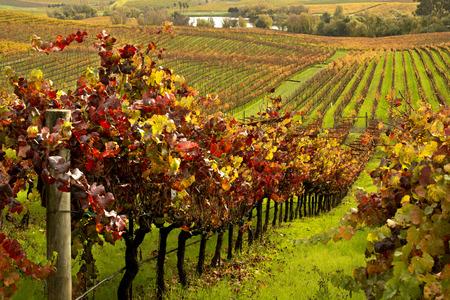 秋のナパバレーのブドウ畑 写真素材