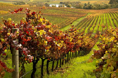 napa valley: Napa Valley Vineyards in Autumn Stock Photo