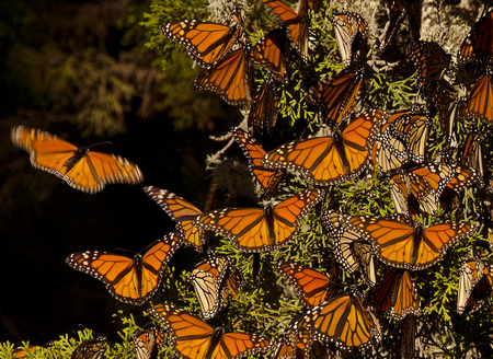 migrations: Monarch Butterflies Stock Photo