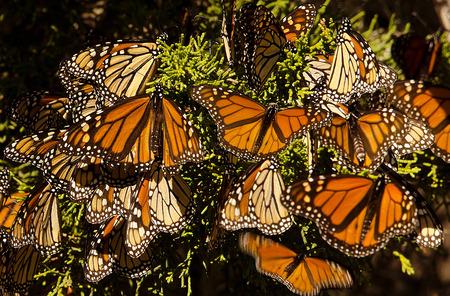 butterflies flying: Las mariposas monarca