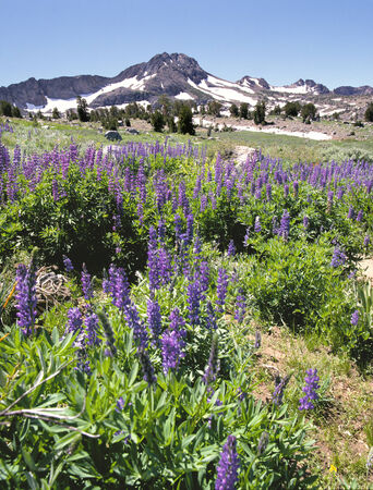 Wild Lupine and Mountains