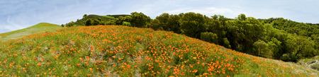 Mountain Wildflower Poppies Panoramic