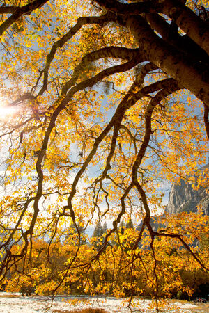 Yosemite Oak Trees Autumn Color