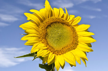 Large Sunflower and Sky