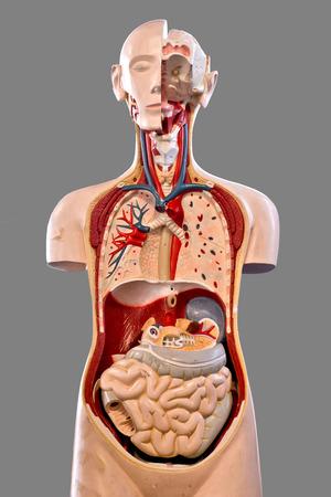 教育のための人体解剖学 写真素材
