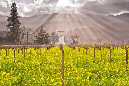 napa valley: Heavenly Light Rays on Napa Valley Vineyards and Spring Wild Mustard Stock Photo