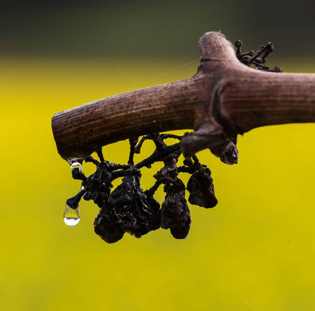 Water Drop on Pruned Grape Vine