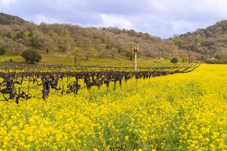 napa: Napa Valley Spring Wild Mustard, Vineyards and Mountains