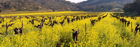 napa valley: Napa Valley Spring Wild Mustard, Vineyards and Mountains