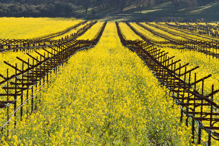Napa Valley Spring Wild Mustard, Vineyards and Mountains