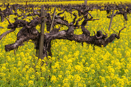 napa: Napa Valley Spring Wild Mustard, Vineyards Stock Photo