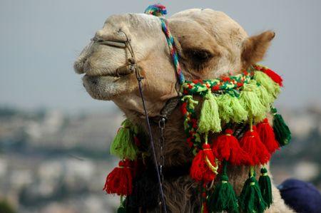 halter: Camel in Israel