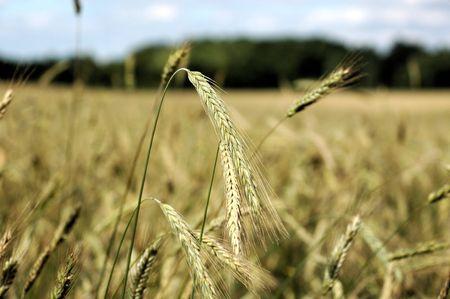 Close up of grains de blé d'or sur la tige. Banque d'images - 1157649