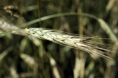 Close up of wheat grain on the stalk.