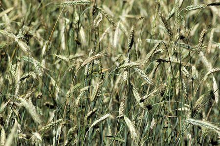 Wheat field slowly ripening to harvest. Stock fotó