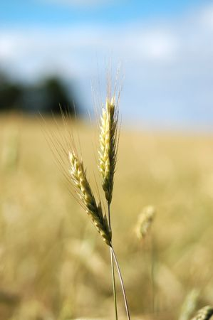 Close up of wheat ears growing ripe for harvest framed against the light white clouds and blue sky.