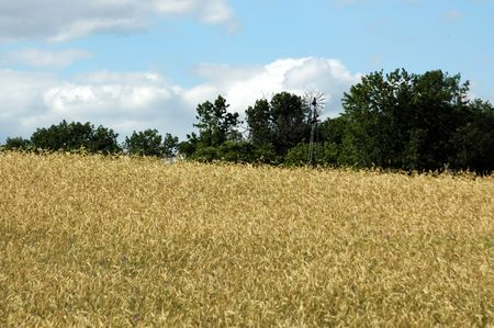 Field of wheat with windmill. photo