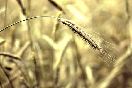 Close up of golden wheat grains on the stalk. Stock fotó