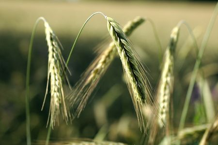 Close up of wheat grain on the stalk. photo