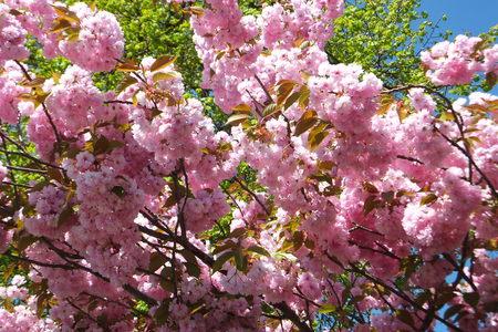 Japanese cherry 写真素材