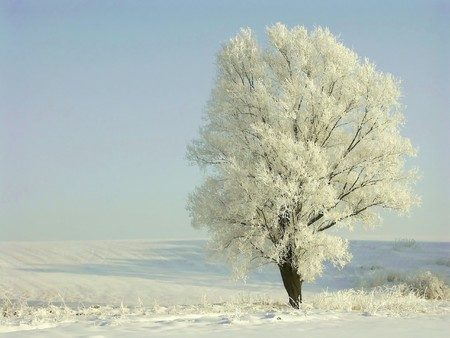 Lonely winter tree, frost covered the branches. photo