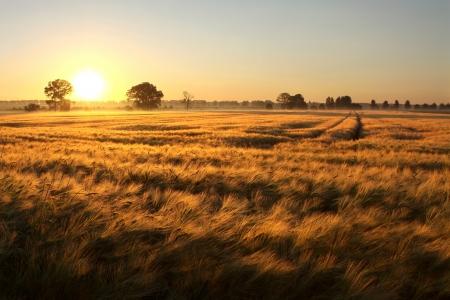 Amanecer sobre los campos de grano en el primer d�a del verano