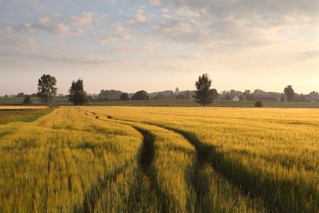 Camino de tierra en el campo de ma�z en la madrugada